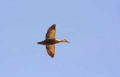 Skrendanti laukinė antis / Flying wild duck