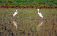 Baltieji garniai – gražūs ir elegantiški paukščiai ryžių lauke / White egrets, beautiful and elegant birds in rice field