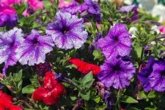 Gėlės Odakoje. Savanoriai sodina ir rūpinasi spalvingomis gėlėmis Odakos pakelėse / Flowers in Odaka. Volunteers planting and taking care of colourful flowers on roadside of Odaka