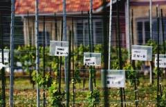 Vynuogynas Tomioka-Town apskrityje / Vineyard in Tomioka-Town area