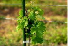 Vynuogynas Tomioka-Town rajone. Čia dėmesys skiriamas vyno gamybos potencialui tapti nauja, išlaikancia ekologinę pusiausvyrą žemės ūkio pramone / Vineyard in Tomioka-Town focuses on the potential of wine production to become a new sustainable agricultural industry