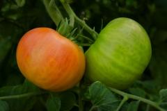 "Pomidorai ""Tomato Land Iwaki"" ūkio šiltnamyje / Tomatos at greenhouse at the Tomato Land Iwaki farming practice"
