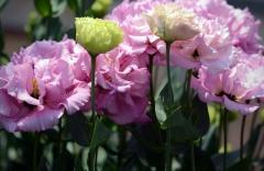 Nuostabios ir gražios eustomos (Hiroshi Kawamura gėlių verslas Namie mieste) / Amazing and be-autiful Eustoma flowers (Hiroshi Kawamura flower business in Namie town)